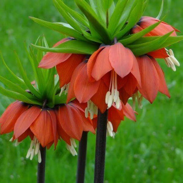 цена цветы царская корона фото соцсети присутствует более